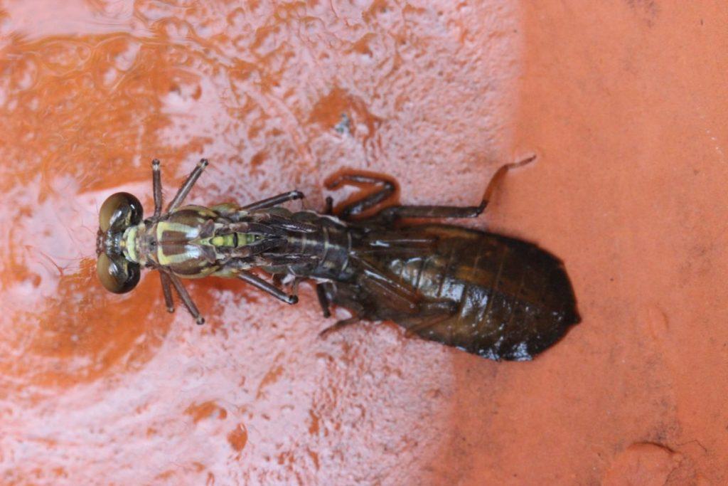 แมลงปอเสือ, แมลงปอ, แมลงในไทย, ชนิดพันธุ์ใหม่
