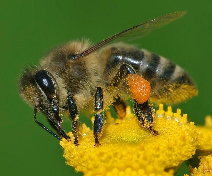 ผึ้งน้ำหวาน, แตนยักษ์เอเชีย