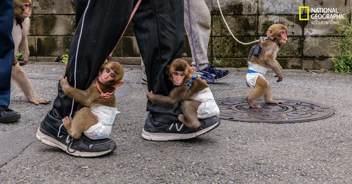 ลิงกังญี่ปุ่น