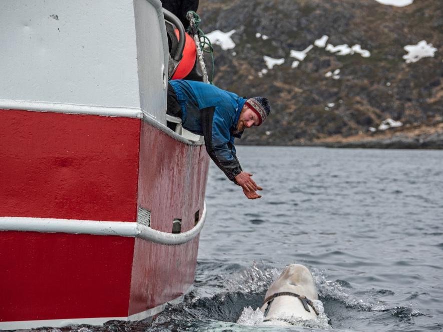 วาฬเบลูกา, วาฬ, วาฬสายลับ