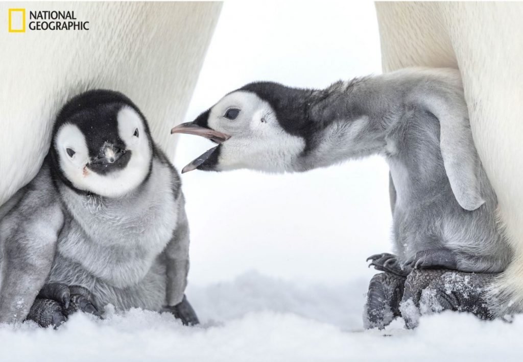 เพนกวินจักรพรรดิ, นกเพนกวิน, การผสมพันธุ์, วงจรชีวิต, แอนตาณืกติก