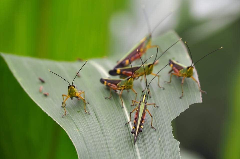 ตั๊กแตน, การระบาดของแมลง, ตั๊กแตนไผ่, ตั๊กแตนระบาด