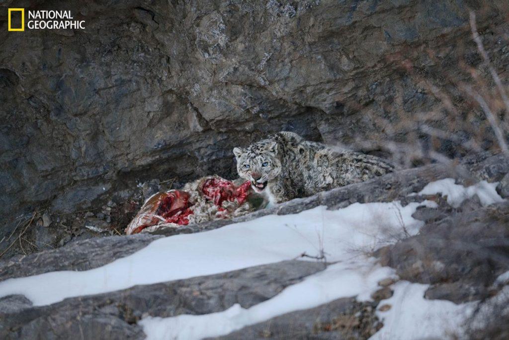 เสือดาวหิมะ, สัตว์ป่าหายาก, สัตว์ป่า, หิมาลัย, นักล่าแห่งหิมาลัย