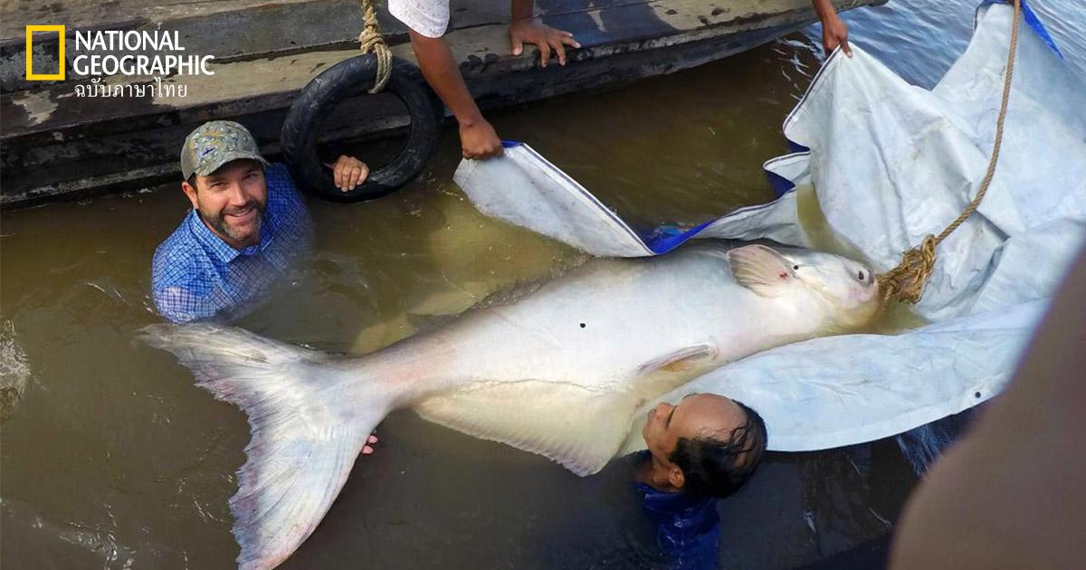 ปลาบึก, ปลาน้ำจืด, ปลาที่ใหญ่ที่สุด