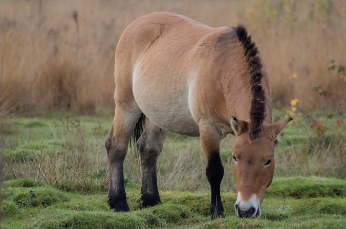 ม้ามองโกเลีย, ม้า, การอนุรักษ์