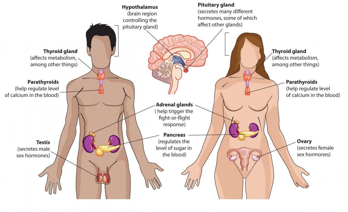 ระบบต่อมไร้ท่อ, ฮอร์โมนเพศชาย, ฮอร์โมนเพศหญิง, ฮอร์โมนเพศ, อวัยวะเพศ, ผู้ชาย, ผู้หญิง