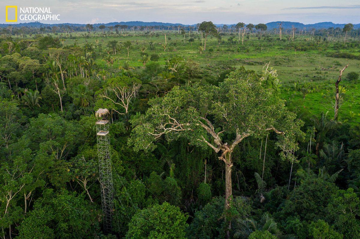 นกอินทรีฮาร์ปี, ป่าแอมะซอน