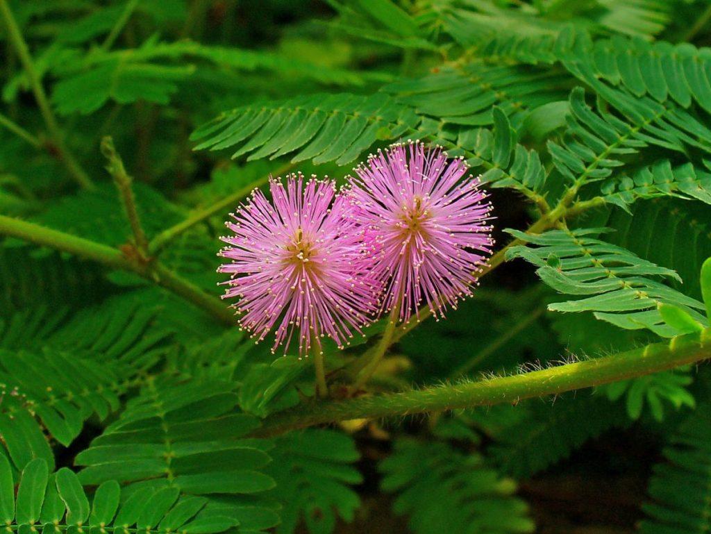 การตอบสนองของพืช, ฮอร์โมนพืช, การหุบของใบ, ต้นไม้กินแมลง