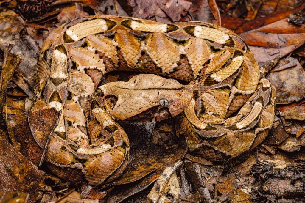 งูไวเปอร์