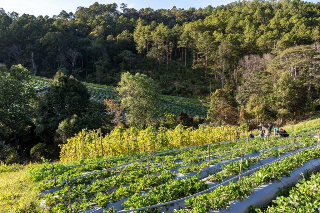 แม่แจ่ม, แม่แจ่มโมเดลพลัส, พืชเชิงเดี่ยว, พืชทดแทน, ไร่ข้าวโพด
