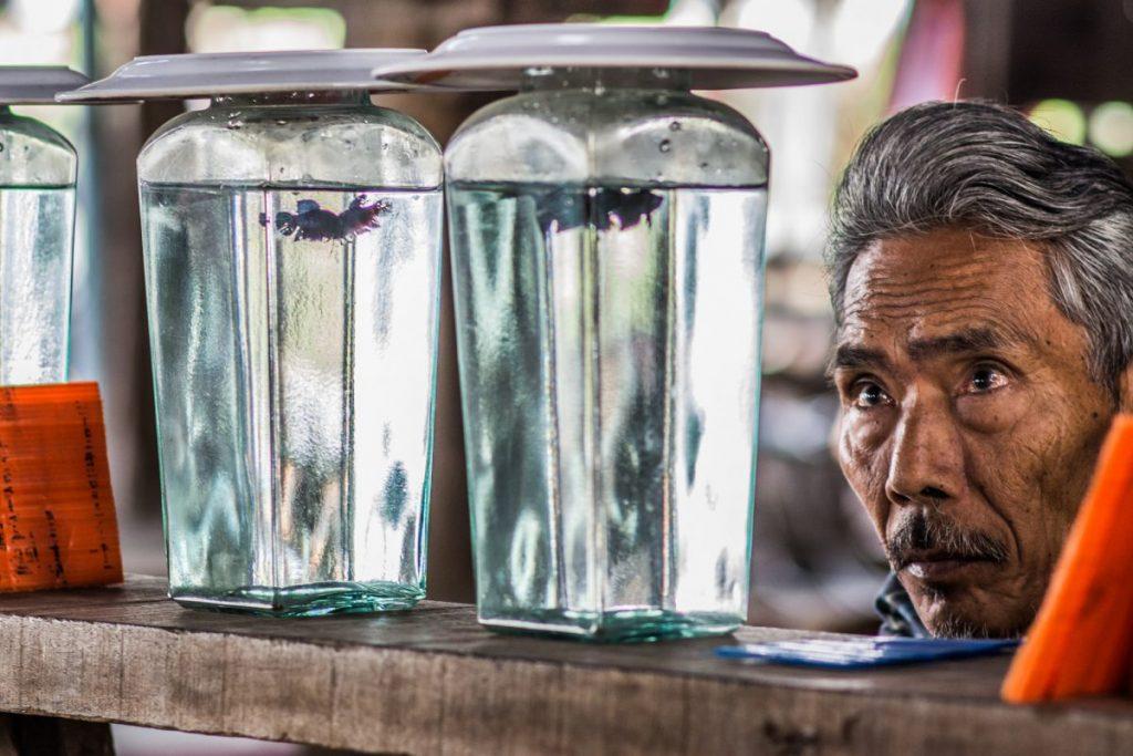ปลากัดไทย, ปลากัด, ปลากัดจีน, ปลากัดหม้อ, ปลากัดทุ่ง, เลี้ยงปลากัด, ประวัติปลากัด