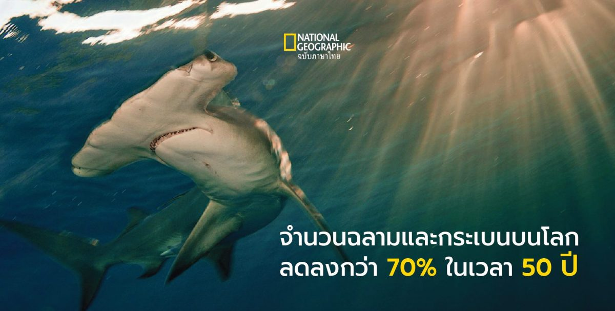 ฉลาม, ฉลามหัวค้อน, การสูญพันธุ์