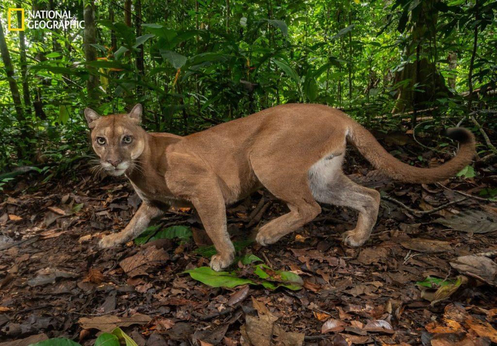 เสือพูม่า, อนุรักษ์ป่า