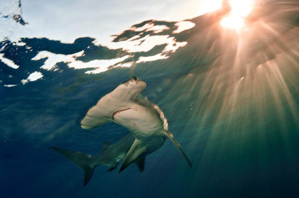 ปลาฉลาม, ฉลามหัวค้อน